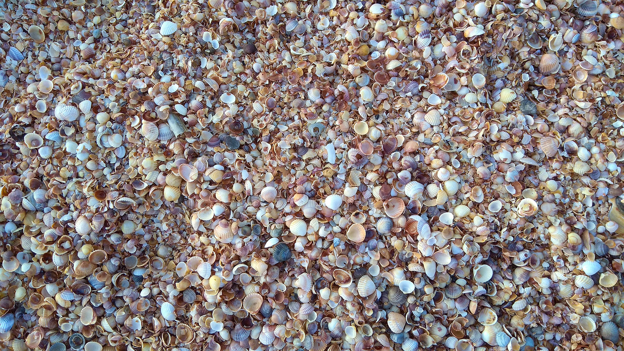A mixture of small shells covering the whole image