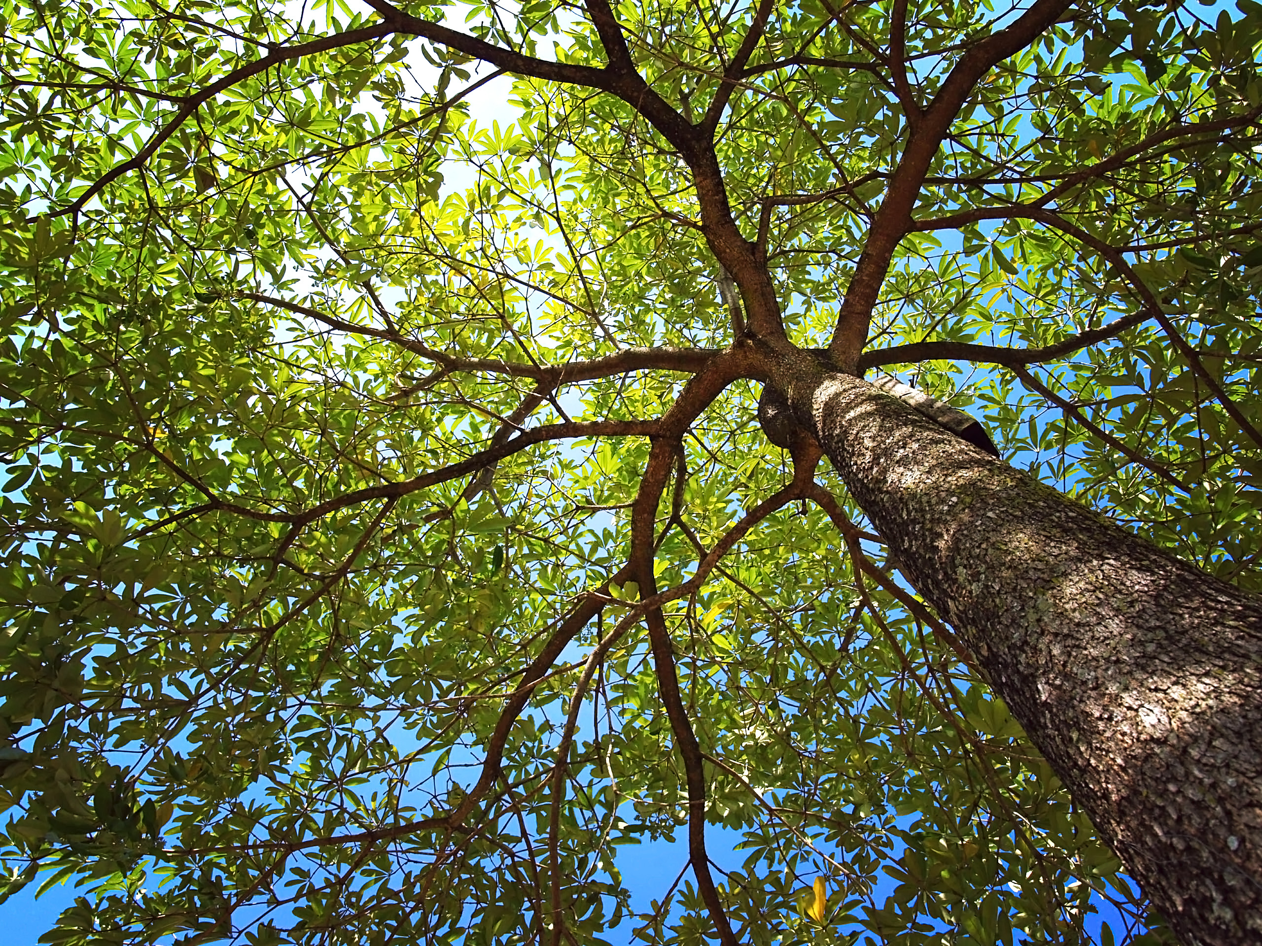 View through the canopy of a tree, green leaves and a blue sunny sky beyond